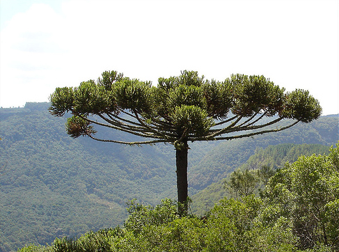pinee